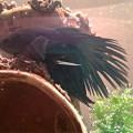 Моя первая рыбка Петушок