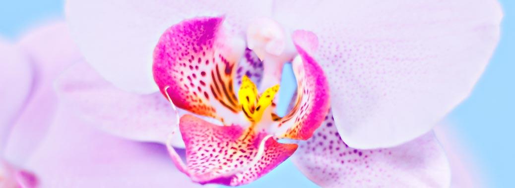 Орхидея продолжение